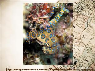 Укус синекольчатого осьминога (Hapalochlaena lunulata) смертелен