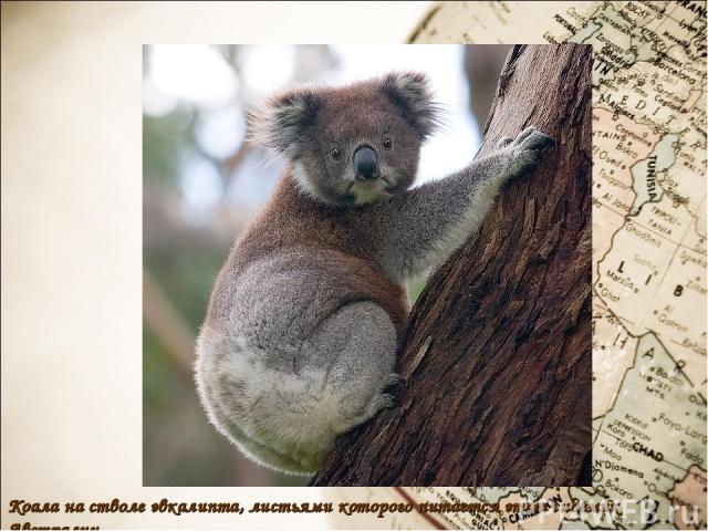 Коала на стволе эвкалипта, листьями которого питается этот эндемик Австралии