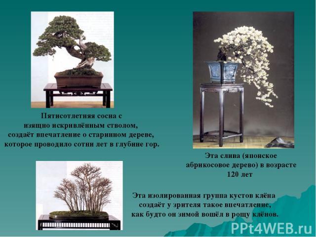 Эта слива (японское абрикосовое дерево) в возрасте 120 лет Пятисотлетняя сосна с изящно искривлённым стволом, создаёт впечатление о старинном дереве, которое проводило сотни лет в глубине гор. Эта изолированная группа кустов клёна создаёт у зрителя …