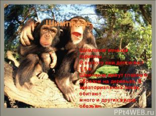 Шимпанзе Шимпанзе меньше гориллы. В высоту они достигают 1,5 м. Шимпанзе живут г
