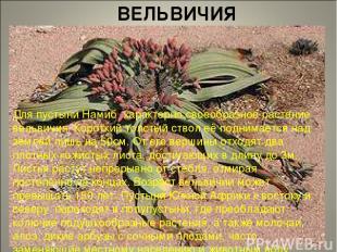 ВЕЛЬВИЧИЯ Для пустыни Намиб характерно своеобразное растение вельвичия. Короткий