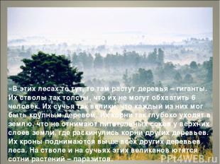 «В этих лесах то тут, то там растут деревья – гиганты. Их стволы так толсты, что