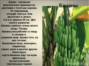 Бананы Банан - огромное многолетнее травянистое растение с толстым корнем. От ко