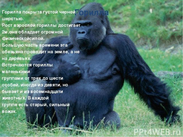 Горилла Горилла покрыта густой черной шерстью. Рост взрослой гориллы достигает 2м,она обладает огромной физическойсилой. Большую часть времени эта обезьяна проводит на земле, а не на деревьях. Встречаются гориллы маленькими группами от трех до шести…