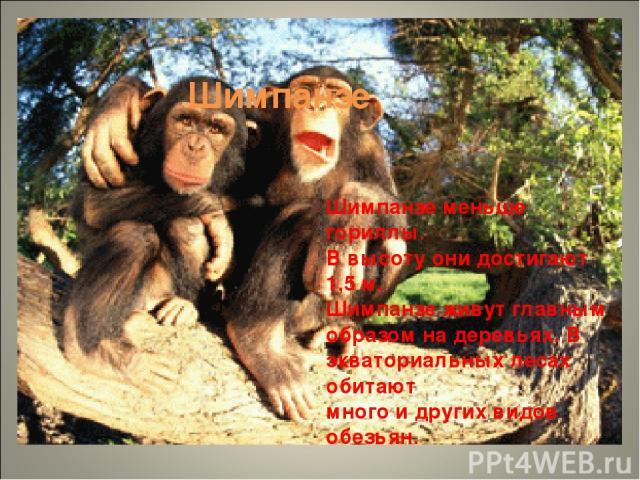Шимпанзе Шимпанзе меньше гориллы. В высоту они достигают 1,5 м. Шимпанзе живут главным образом на деревьях. В экваториальных лесах обитают много и других видов обезьян.
