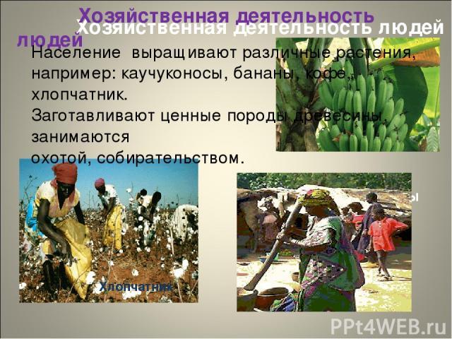 Хозяйственная деятельность людей Хозяйственная деятельность людей Бананы Хлопчатник Население выращивают различные растения, например: каучуконосы, бананы, кофе, хлопчатник. Заготавливают ценные породы древесины, занимаются охотой, собирательством.