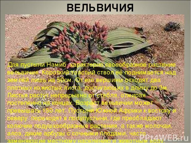 ВЕЛЬВИЧИЯ Для пустыни Намиб характерно своеобразное растение вельвичия. Короткий толстый ствол её поднимается над землёй лишь на 50см. От его вершины отходят два плотных кожистых листа, достигающих в длину до 3м. Листья растут непрерывно от стебля, …