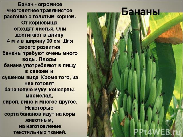 Бананы Банан - огромное многолетнее травянистое растение с толстым корнем. От корневища отходят листья. Они достигают в длину 4 м и в ширину 90 см. Для своего развития бананы требуют очень много воды. Плоды банана употребляют в пищу в свежем и сушен…
