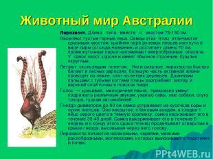 Животный мир Австралии Лирохвост. Длина тела вместе с хвостом 75-130 см. Населяю
