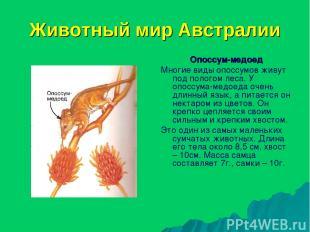 Животный мир Австралии Опоссум-медоед Многие виды опоссумов живут под пологом ле