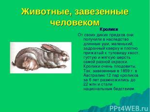 Животные, завезенные человеком Кролики От своих диких предков они получили в нас