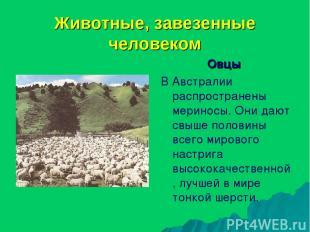 Животные, завезенные человеком Овцы В Австралии распространены мериносы. Они даю