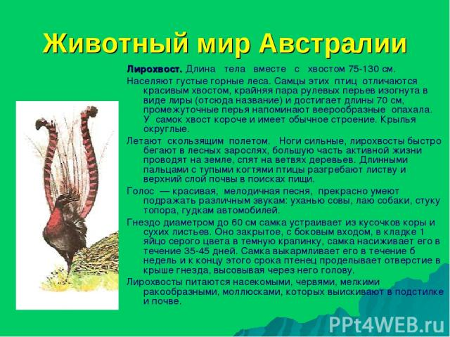 Животный мир Австралии Лирохвост. Длина тела вместе с хвостом 75-130 см. Населяют густые горные леса. Самцы этих птиц отличаются красивым хвостом, крайняя пара рулевых перьев изогнута в виде лиры (отсюда название) и достигает длины 70 см, промежуточ…