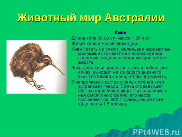 Животный мир Австралии Киви Длина тела 50-80 см, масса 1,35-4 кг. Живут киви в Новой Зеландии. Киви летать не умеют, маленькие неразвитые крылышки скрываются в волосовидном оперении, издали напоминающем густую шерсть. Весь день киви прячется в лесу …