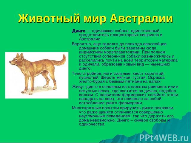 Животный мир Австралии Динго — одичавшая собака, единственный представитель плацентарных хищников в Австралии. Вероятно, еще задолго до прихода европейцев домашние собаки были завезены сюда индийскими мореплавателями. При полном отсутствии сопернико…