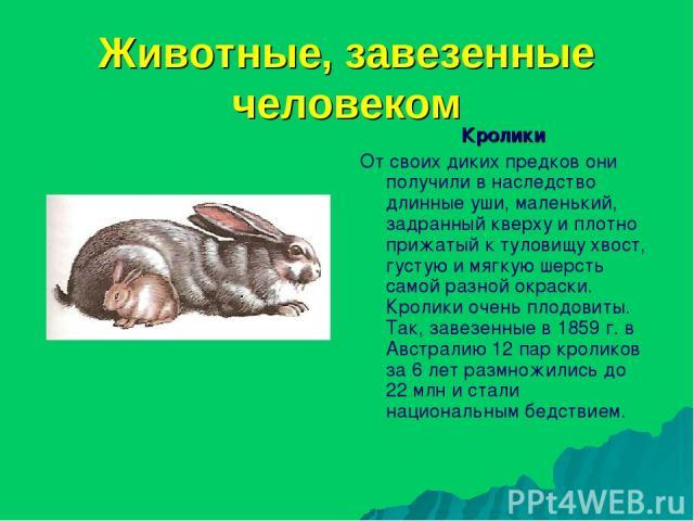 Животные, завезенные человеком Кролики От своих диких предков они получили в наследство длинные уши, маленький, задранный кверху и плотно прижатый к туловищу хвост, густую и мягкую шерсть самой разной окраски. Кролики очень плодовиты. Так, завезенны…