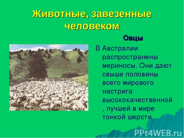 Животные, завезенные человеком Овцы В Австралии распространены мериносы. Они дают свыше половины всего мирового настрига высококачественной, лучшей в мире тонкой шерсти.