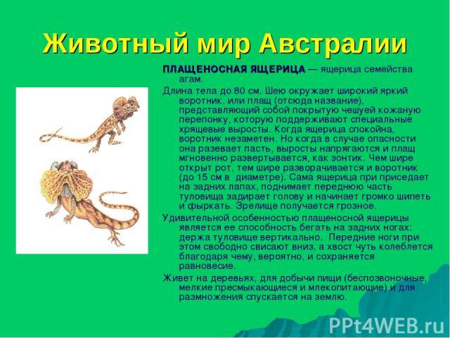 Животный мир Австралии ПЛАЩЕНОСНАЯ ЯЩЕРИЦА — ящерица семейства агам. Длина тела до 80 см. Шею окружает широкий яркий воротник, или плащ (отсюда название), представляющий собой покрытую чешуей кожаную перепонку, которую поддерживают специальные хряще…