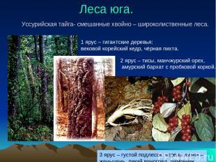 Леса юга. Уссурийская тайга- смешанные хвойно – широколиственные леса. 1 ярус –