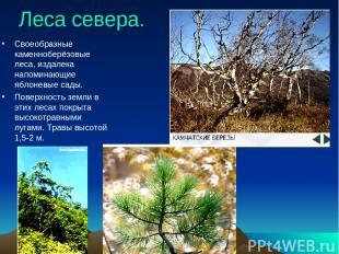 Леса севера. Своеобразные каменноберёзовые леса, издалека напоминающие яблоневые