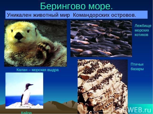 Берингово море. Уникален животный мир Командорских островов. Калан – морская выдра Кайра Лежбище морских котиков Птичьи базары