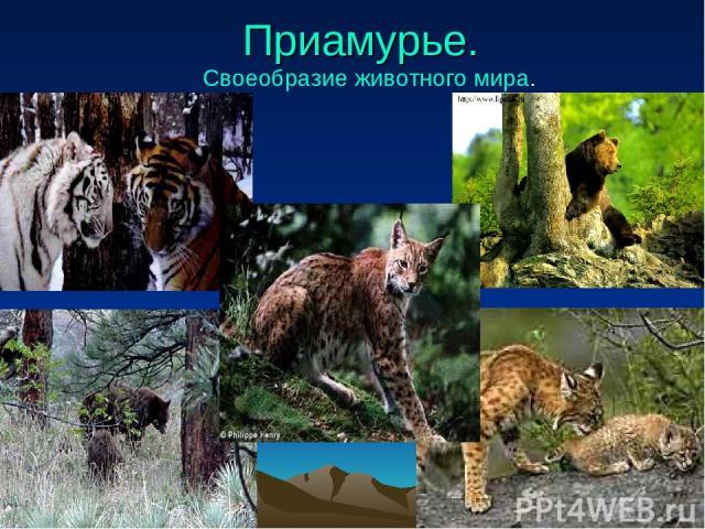 Приамурье. Своеобразие животного мира.