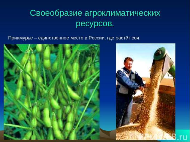 Своеобразие агроклиматических ресурсов. Приамурье – единственное место в России, где растёт соя.