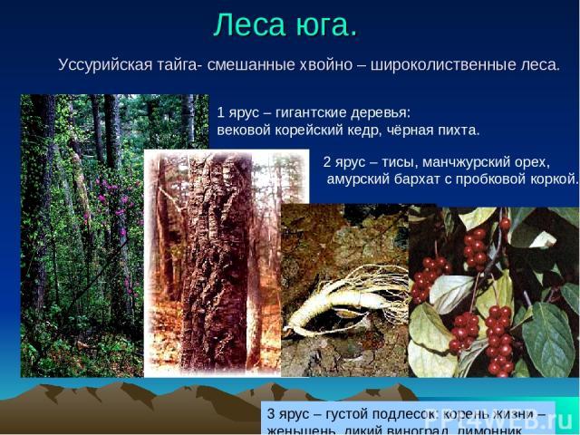 Леса юга. Уссурийская тайга- смешанные хвойно – широколиственные леса. 1 ярус – гигантские деревья: вековой корейский кедр, чёрная пихта. 2 ярус – тисы, манчжурский орех, амурский бархат с пробковой коркой. 3 ярус – густой подлесок: корень жизни – ж…
