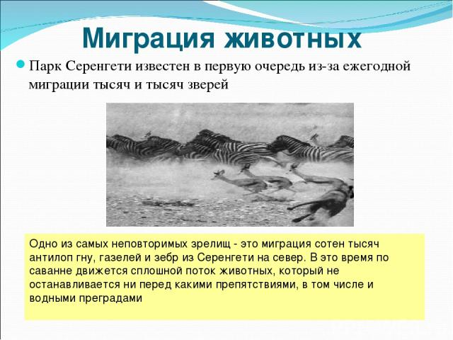 Миграция животных Парк Серенгети известен в первую очередь из-за ежегодной миграции тысяч и тысяч зверей Одно из самых неповторимых зрелищ - это миграция сотен тысяч антилоп гну, газелей и зебр из Серенгети на север. В это время по саванне движется …
