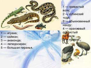 1 — игуана; 2 — кайман; 3 — анаконда; 4 — лепидосирен; 5 — большая пиранья. 1 —