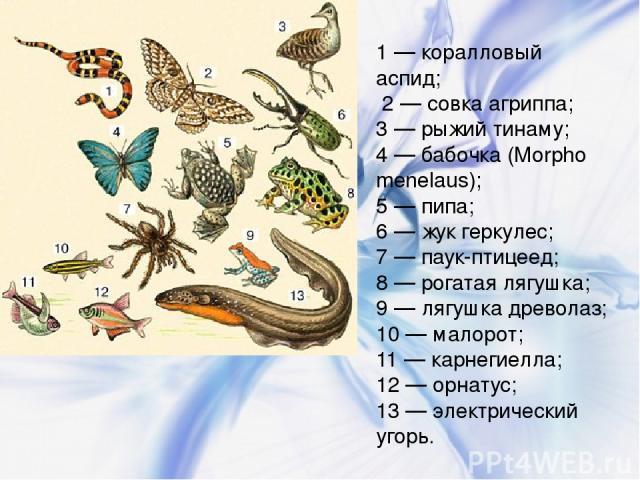 1 — коралловый аспид; 2 — совка агриппа; 3 — рыжий тинаму; 4 — бабочка (Morpho menelaus); 5 — пипа; 6 — жук геркулес; 7 — паук-птицеед; 8 — рогатая лягушка; 9 — лягушка древолаз; 10 — малорот; 11 — карнегиелла; 12 — орнатус; 13 — электрический угорь.