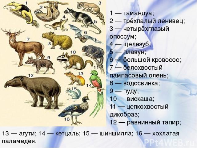 1 — тамандуа; 2 — трёхпалый ленивец; 3 — четырёхглазый опоссум; 4 — щелезуб; 5 — плавун; 6 — большой кровосос; 7 — белохвостый пампасовый олень; 8 — водосвинка; 9 — пуду; 10 — вискаша; 11 — цепкохвостый дикобраз; 12 — равнинный тапир; 13 — агути; 14…