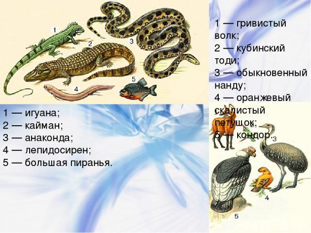 1 — игуана; 2 — кайман; 3 — анаконда; 4 — лепидосирен; 5 — большая пиранья. 1 — гривистый волк; 2 — кубинский тоди; 3 — обыкновенный нанду; 4 — оранжевый скалистый петушок; 5 — кондор.