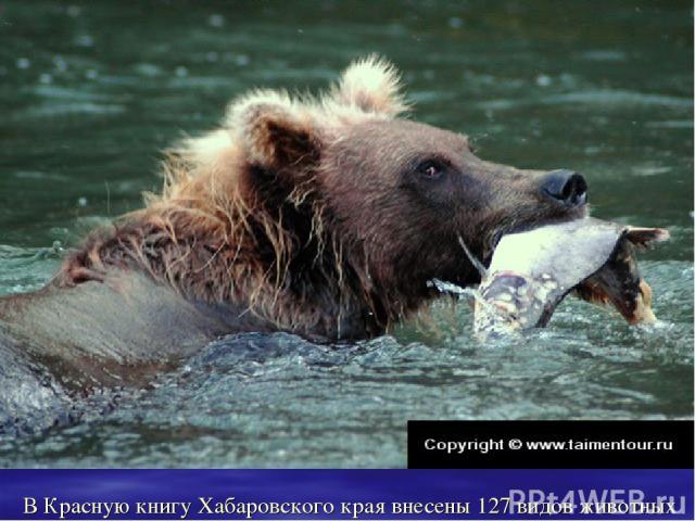 В Красную книгу Хабаровского края внесены 127 видов животных