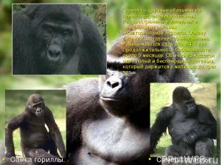 Горилла – крупные обезьяны из семейства человекообразных. Распространены в запад