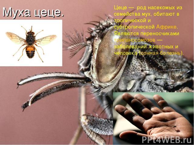 Муха цеце. Цеце — род насекомых из семейства мух, обитают в тропической и субтропической Африке. Являются переносчиками трипаносомозов — заболеваний животных и человека (сонная болезнь).