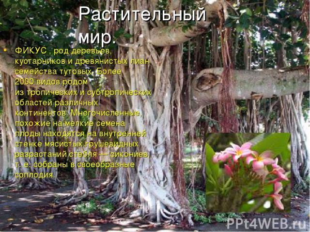 ФИКУС , род деревьев, кустарников идревянистых лиан семейства тутовых. Более 2000видов родом изтропических исубтропических областей различных континентов. Многочисленные, похожие намелкие семена плоды находятся навнутренней стенке мясистых гру…