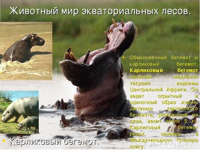 Животный мир экваториальных лесов. Обыкновенный бегемот и карликовый бегемот. Карликовый бегемот населяет медленно текущие водоемы Центральной Африки. Он ведет скрытный и одиночный образ жизни. Детеныш карликового бегемота, рожденный на суше, весит …