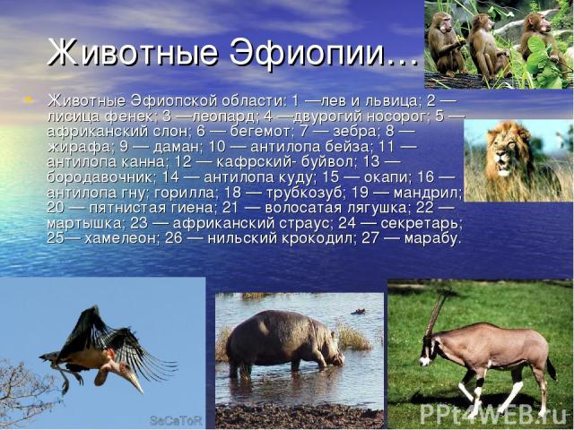 Животные Эфиопии… Животные Эфиопской области: 1 —лев и львица; 2 — лисица фенек; 3 —леопард; 4 —двурогий носорог; 5 — африканский слон; 6 — бегемот; 7 — зебра; 8 — жирафа; 9 — даман; 10 — антилопа бейза; 11 — антилопа канна; 12 — кафрский- буйвол; 1…