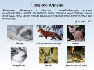 Правило Аллена Животные, обитающие в областях с преобладающими низкими температу