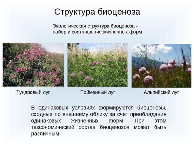 Структура биоценоза Экологическая структура биоценоза - набор и соотношение жизненных форм Тундровый луг Пойменный луг Альпийский луг В одинаковых условиях формируются биоценозы, сходные по внешнему облику за счет преобладания одинаковых жизненных ф…