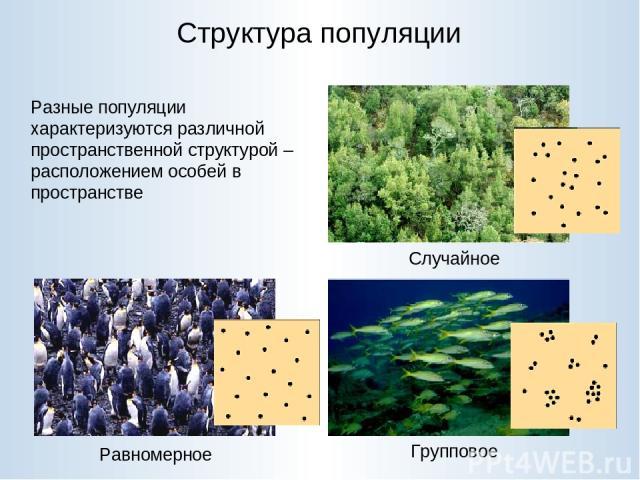 Структура популяции Случайное Равномерное Групповое Разные популяции характеризуются различной пространственной структурой – расположением особей в пространстве