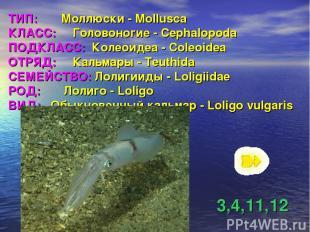 ТИП: Моллюски - Mollusca КЛАСС: Головоногие - Cephalopoda ПОДКЛАСС: Колеоидеа -
