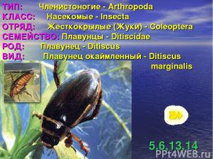 ТИП: Членистоногие - Arthropoda КЛАСС: Насекомые - Insecta ОТРЯД: Жесткокрылые (