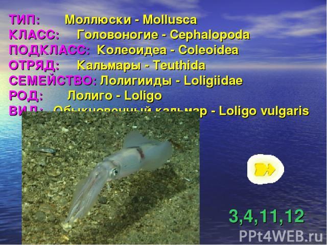 ТИП: Моллюски - Mollusca КЛАСС: Головоногие - Cephalopoda ПОДКЛАСС: Колеоидеа - Coleoidea ОТРЯД: Кальмары - Teuthida СЕМЕЙСТВО: Лолигииды - Loligiidae РОД: Лолиго - Loligo ВИД: Обыкновенный кальмар - Loligo vulgaris 3,4,11,12
