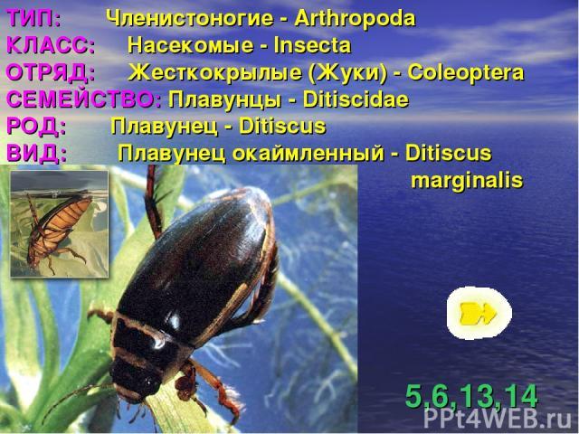 ТИП: Членистоногие - Arthropoda КЛАСС: Насекомые - Insecta ОТРЯД: Жесткокрылые (Жуки) - Coleoptera СЕМЕЙСТВО: Плавунцы - Ditiscidae РОД: Плавунец - Ditiscus ВИД: Плавунец окаймленный - Ditiscus marginalis 5,6,13,14