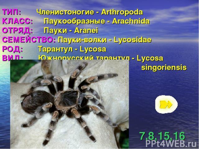 ТИП: Членистоногие - Arthropoda КЛАСС: Паукообразные - Arachnida ОТРЯД: Пауки - Aranei СЕМЕЙСТВО: Пауки-волки - Lycosidae РОД: Тарантул - Lycosa ВИД: Южнорусский тарантул - Lycosa singoriensis 7,8,15,16