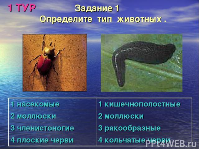 1 ТУР Задание 1 Определите тип животных . 1 насекомые 1 кишечнополостные 2 моллюски 2 моллюски 3 членистоногие 3 ракообразные 4 плоские черви 4 кольчатые черви