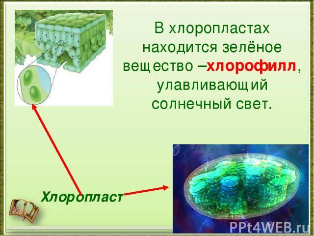 Где находится основная масса хлорофилла