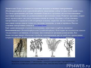 Значительно более сложными по строению являлись семенные папоротники (Pteridospe